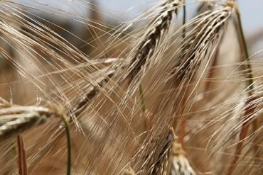 wheat-809441_640 (1)